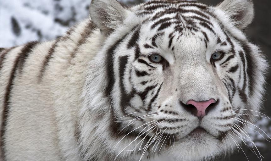 Deepak Chopra tiger image
