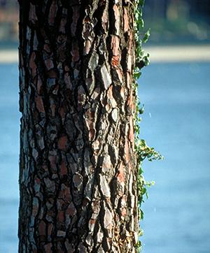 pinebark