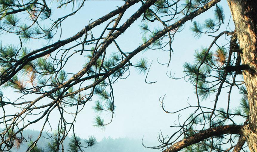 pescatore-pine-tree-dl