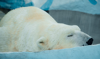 Oreganol polar bear